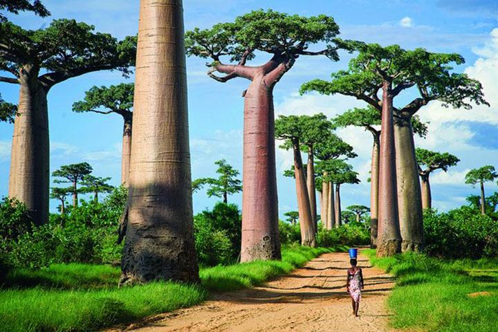 Afrikai erdő, hatalmas majomkenyérfák árnyékában.