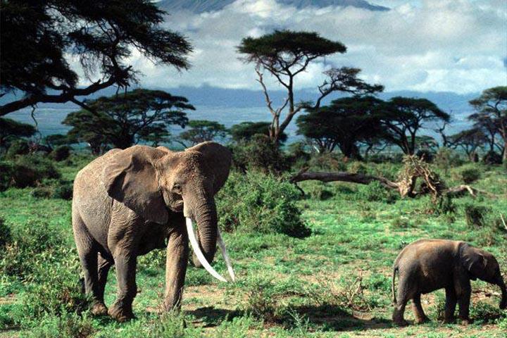 A Kilimandzsáró nem csak a szunnyadó vulkán miatt vonzó úti cél, egyedülálló természetes állat- és növényvilága is.